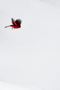 Cardinal-in-flight